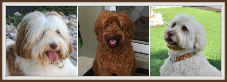 Straight parti, red, cream Australian Labradoodles
