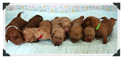 Red and apricot puppies in a row.
